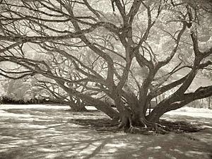 Tree II, Molokai