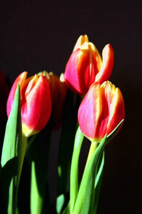 Refreshing Tulips