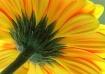 Gerber Daisy # 2