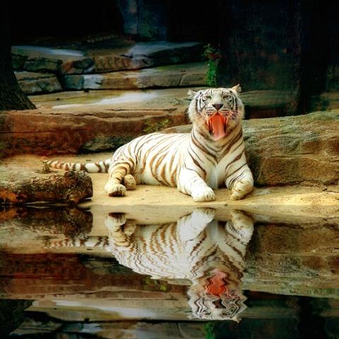 A Tiger Pool
