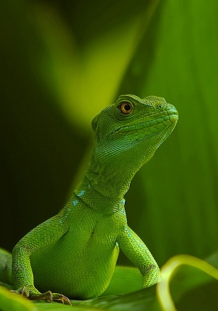 Basiliscus (Female)
