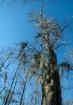 Bearded Tree