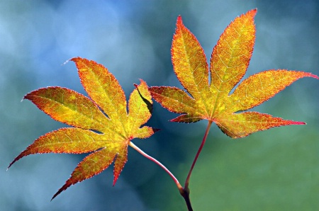 Red Maple Leaves 2