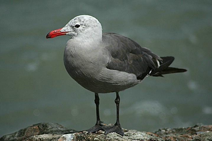 Sausi-Seagull