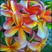 Fragapani Bouquet