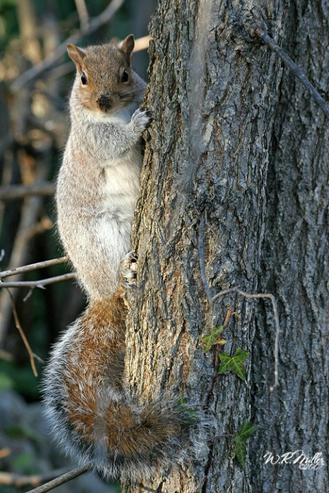 Dirty Nosed Squirrel
