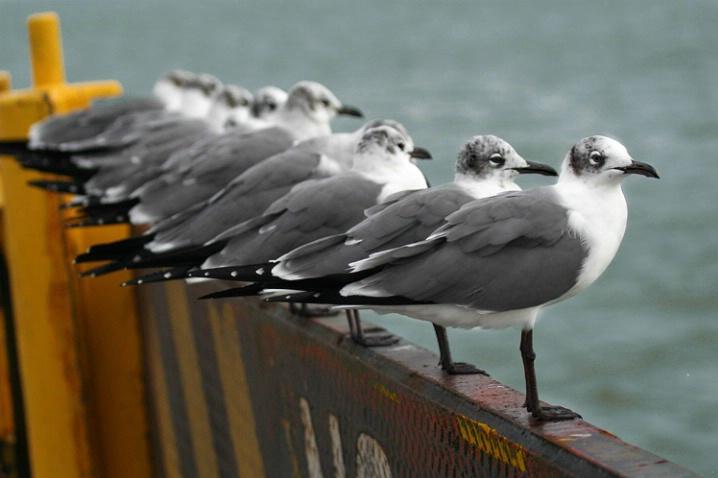 Gull Meeting