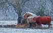 Red Cow in Ice