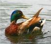 Mill Pond Duck