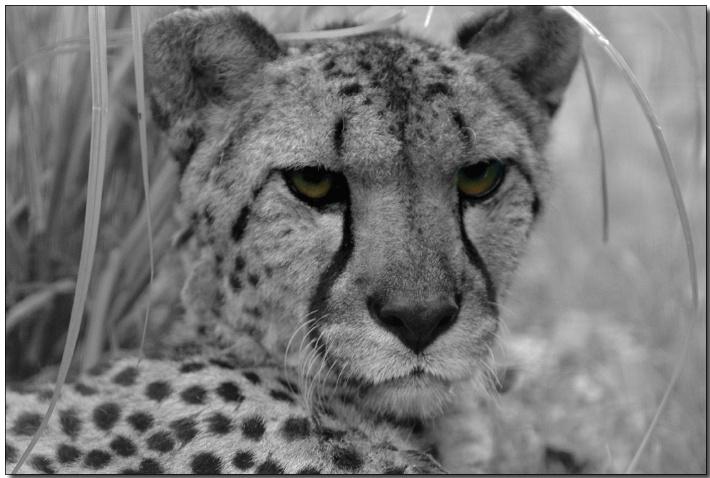 Cheetah - ID: 3343427 © Thomas  A. Statas