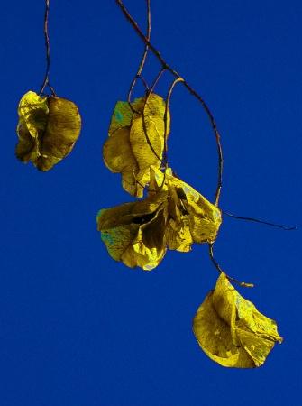 Golden Pods