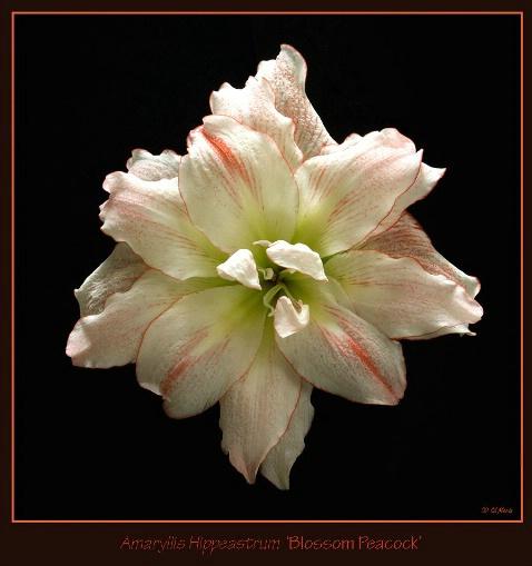 <i>Hippeastrum</i> 'Blossom Peacock' - ID: 3345369 © Edward H. Mertz