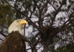 Eagle and Nest
