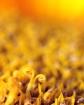 Sunflower Details...