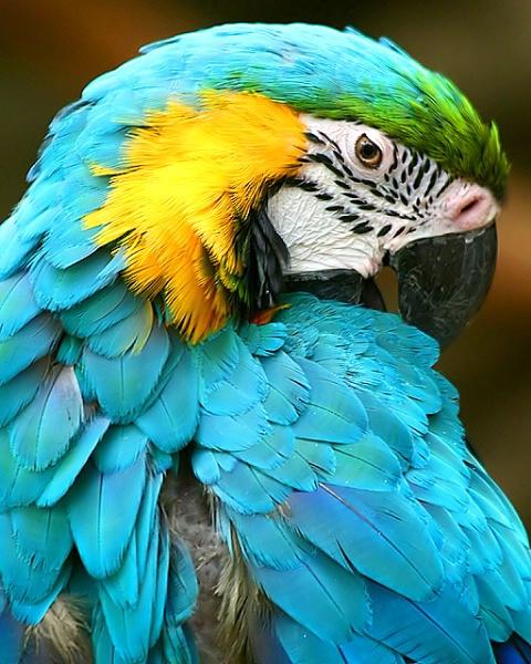 Closeup of a parakeet