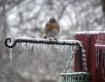BLUEBIRD ON ICE