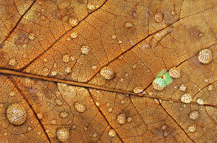Raindrops on Golden Maple Leaf