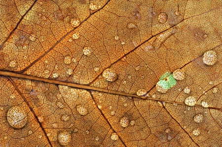 Raindrops on Golden Maple Leaf