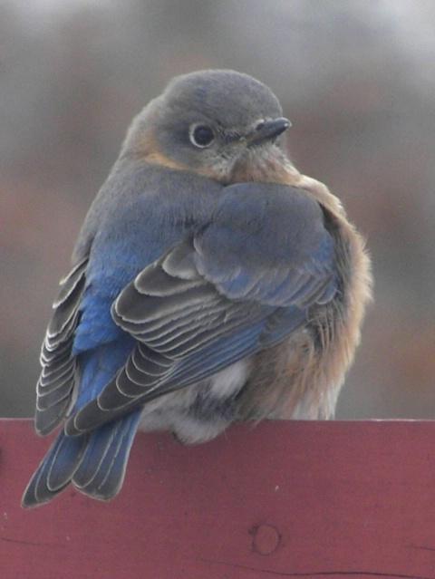 Ms. Bluebird