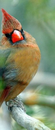 Colorful Cardinal MT
