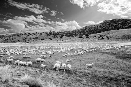 B/W Sheep