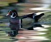 Wood Duck on a Ra...