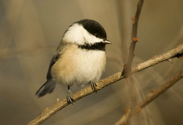 Black-capped Chickadee - ID: 3398416 © Denise Dupras