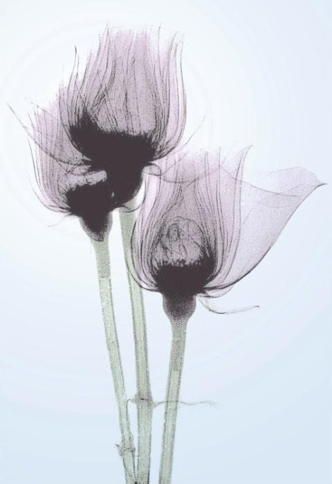 X-ray Rose