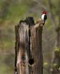 Red Headed Woodpe...