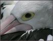 ~Pelican~