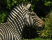 ~Zebra~