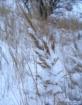 snowblown grass
