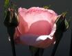 Sunlite Rose