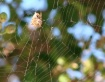 Sleeping Spider