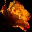 Darrins Rose