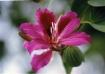 Orchid Tree Flowe...