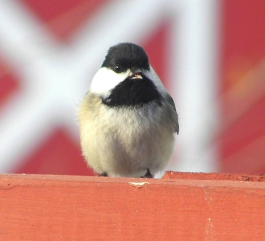 Chickadee 2