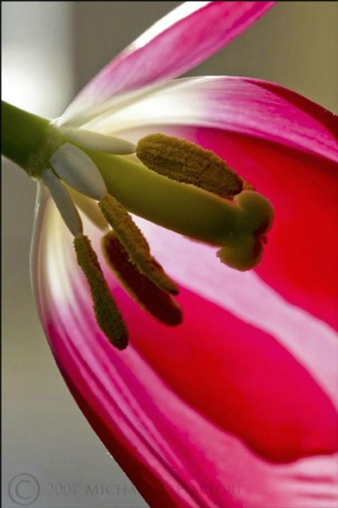 Tulip - ID: 3458366 © Michael Hattori