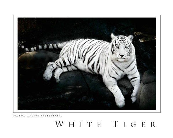 White Tiger  - ID: 3473909 © Brenda W. LaFleur