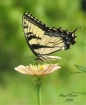 Swallowtail on Zi...