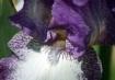 Purple Iris IV