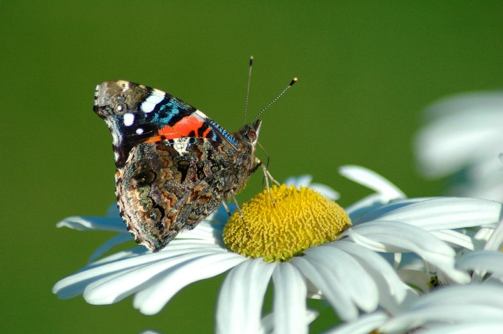 Painted Lady On A Daisy