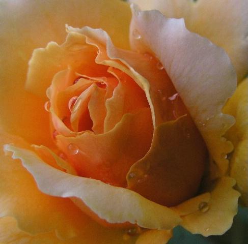 ~Dewed Rose~
