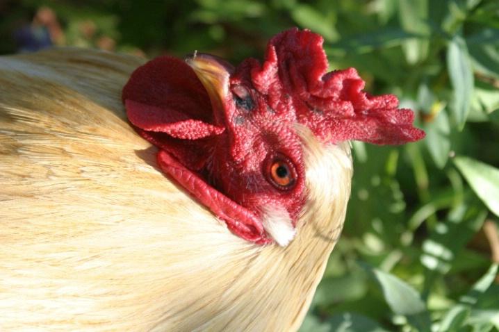 Rooster - ID: 3505907 © Jeri Schultz