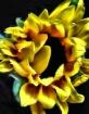 """""""A Sunflower ..."""