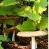 © Susan Leverty PhotoID # 3520647: 3 Mushrooms