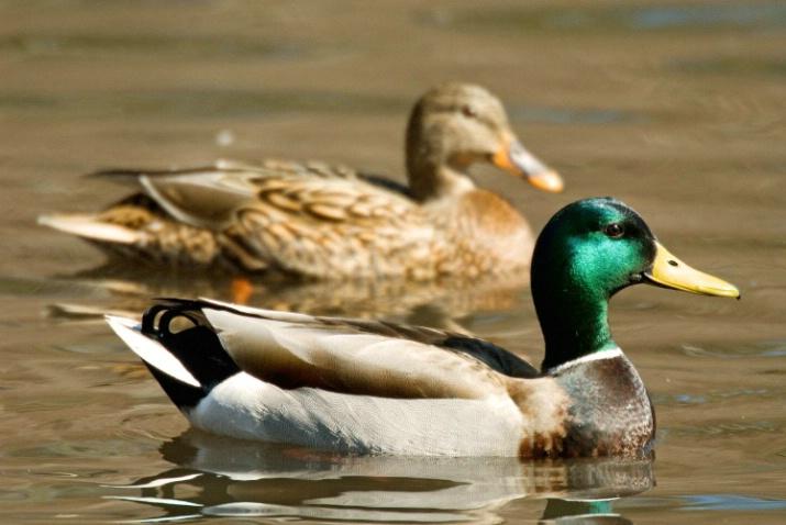 Ducks - ID: 3523326 © James W. Betts
