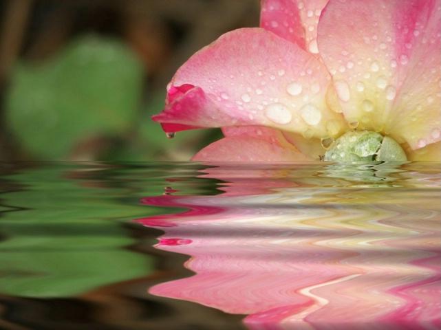 Rose Tears
