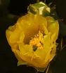 Cactus Rose