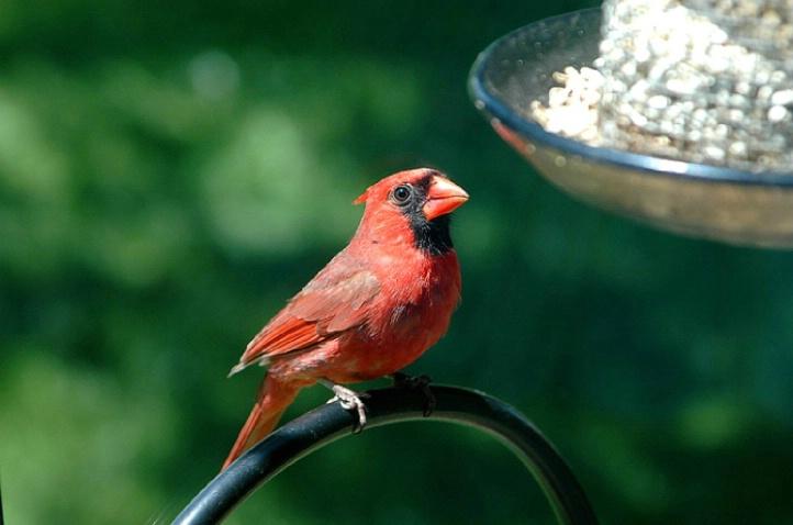 Cardinal at my window - ID: 3545789 © Linda R. Ragsdale